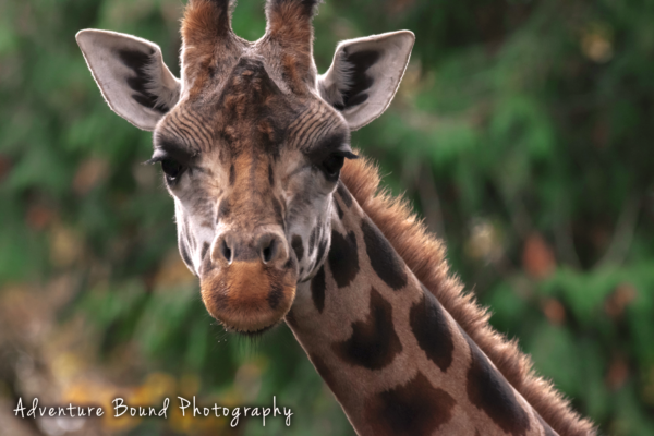 145 untitled-0237 edited giraffee